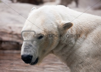 Beautiful Majestic White Polar Bear Profile Image.