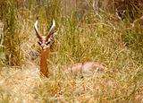 Beautiful Gazelle Resting in the Tall Grass.