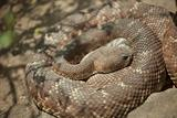 Western Diamondback Rattlesnake Resting in the Warm Sun.