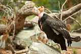 The Endangered California Condor Standing on Rock.