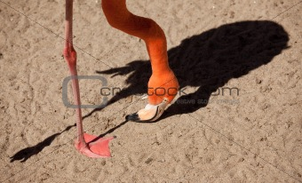 Beautiful Flamingo Abstract with His Dramatic Shadow.