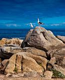 Sea gulls perched on a rocky California point