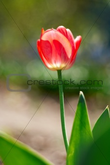 red spring a young tulip with green leaves