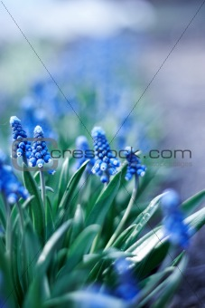spring young blue flowers on green stems