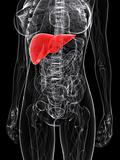 highlighted liver