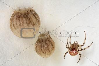 Araneus marmoreus