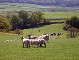 Sheep grazing in countryside