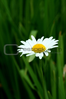 Bright white and yellow daisy