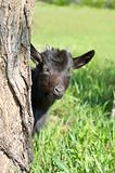 Funny black goatling looking out of the tree stem
