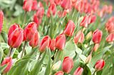 Tulips. Lawn of fresh spring red flowers