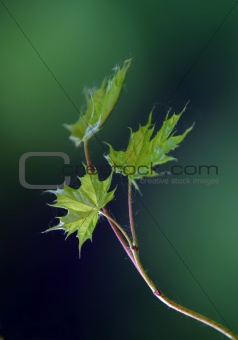 Small leaves of a maple