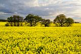 Beautiful rape field with tree and clouds. Blue yellow white.
