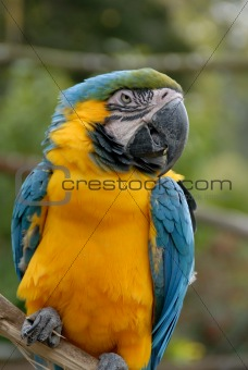 Blue and Yellow Macaw Parrot (#44)