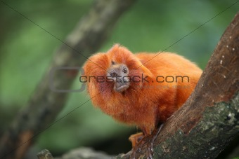 Small Golden Lion tamarin monkey