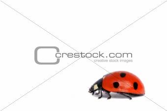 Ladybird on white