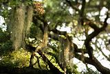 Spanish moss hanging from tree on Bald Head Island, North Caroli