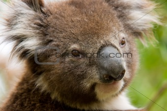 Australian Koala, Sydney