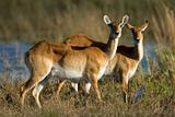 Red lechwe antelopes