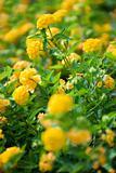 Image of yellow shrub Verbena.
