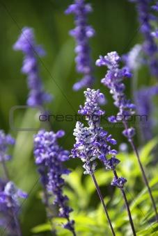 Lavender flower.