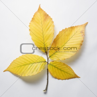 Branch of Beech tree leaves.