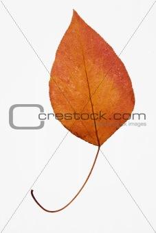 Bradford pear leaf on white.