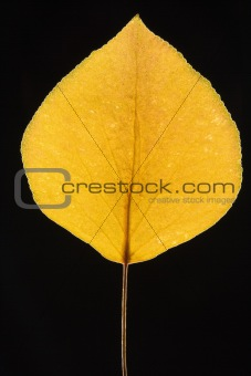 Yellow Bradford pear leaf on black.