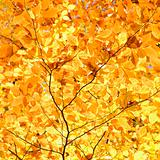 Branches of yellow Fall foliage.