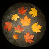 Maple leaves on concrete.