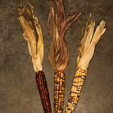 Ears of multicolored Indian corn.