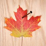Maple leaf nailed to board.