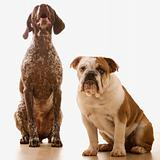 Bulldog and German Shorthaired Pointer portrait.