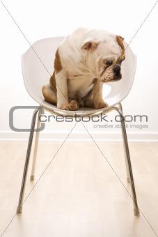 English Bulldog  portrait sitting in chair.