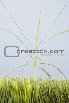 Single tall grass sprout standing out of grass.