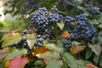 blue berry bush