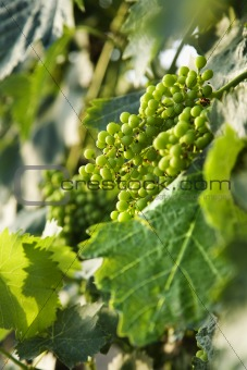 Green grape clusters in Tuscany, Italy.