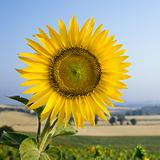 Sunflower in field  in Tuscany, Italy.