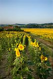 Rows of sunflowers in field with barn in Tuscany, Italy.