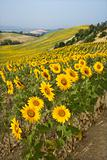 Field of sunflowers and rolling hills.