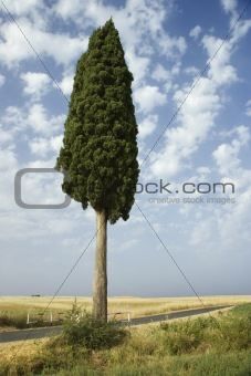 One cypress tree in field.