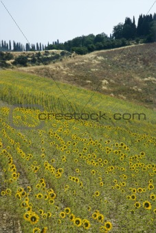 Field of sunflowers in Tuscan countryside.
