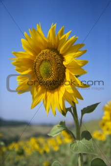 One large sunflower amid field of sunflowers.
