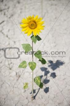 Single sunflower in dirt.