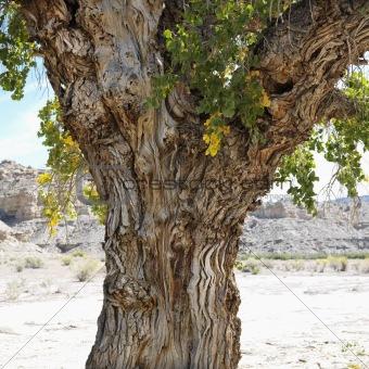 Cottonwood tree in desert Cottonwood Canyon, Utah.