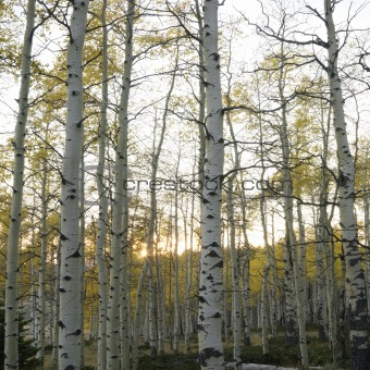 Aspen trees in Fall color in Utah.