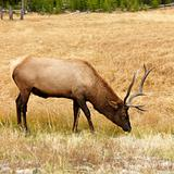 Elk grazing in Yellowstone National Park, Wyoming.