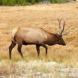 Elk in Yellowstone National Park, Wyoming.