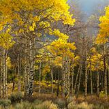 Aspen trees in fall color in Wyoming.