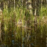 Wetland in Florida Everglades.