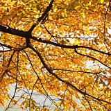 Elm tree in Fall color